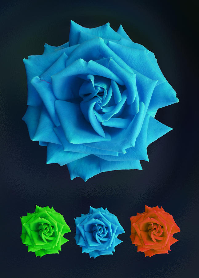 Rose Photograph - Roses by Nigel Chaloner
