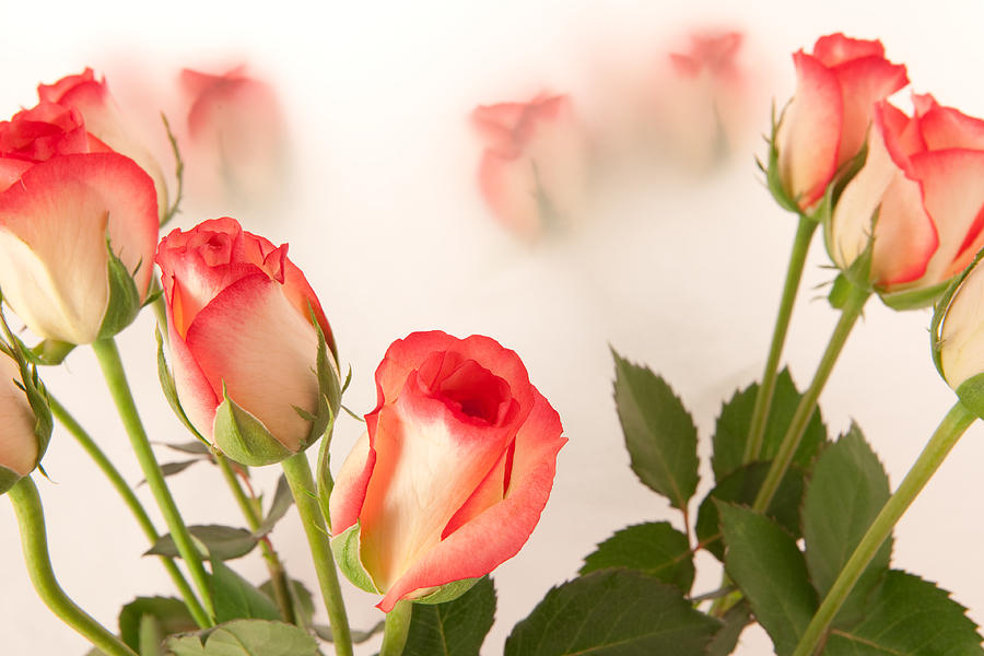 Aroma Photograph - Roses by Tom Gowanlock