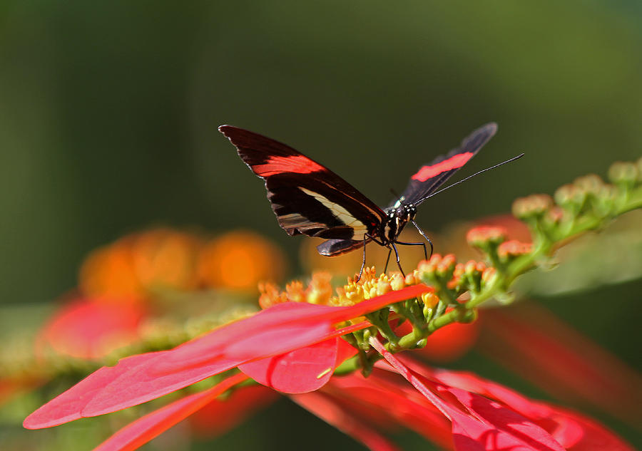 Butterfly Photograph - Rosina Butterfly by Juergen Roth