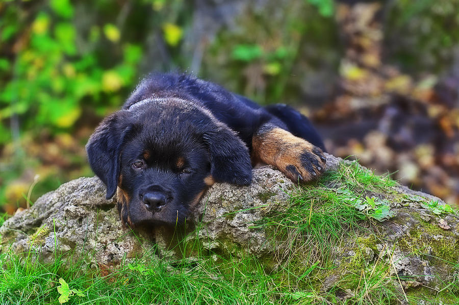 Puppies Photograph - Rottie Pup by Edward Kovalsky