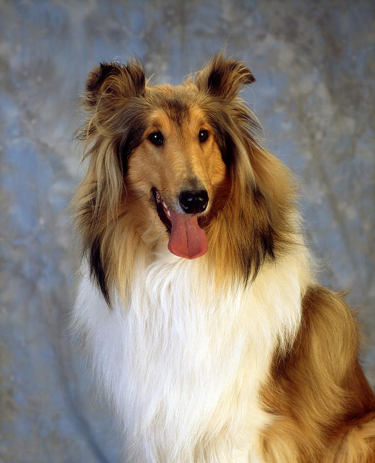 Rough Collie Dog Photograph By The Irish Image Collection