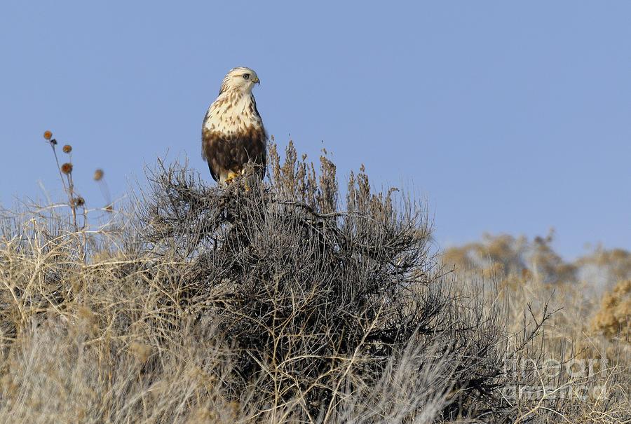 Birds Photograph - Rough-legged Hawk by Dennis Hammer