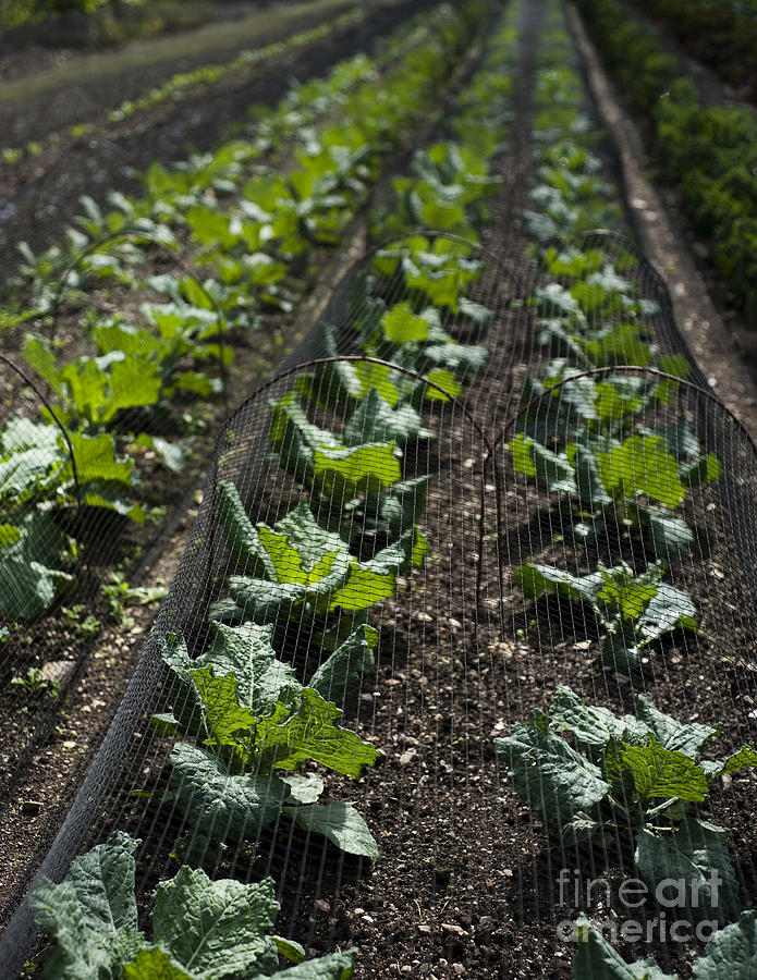 Garden Photograph - Rows Of Cabbage by Anne Gilbert