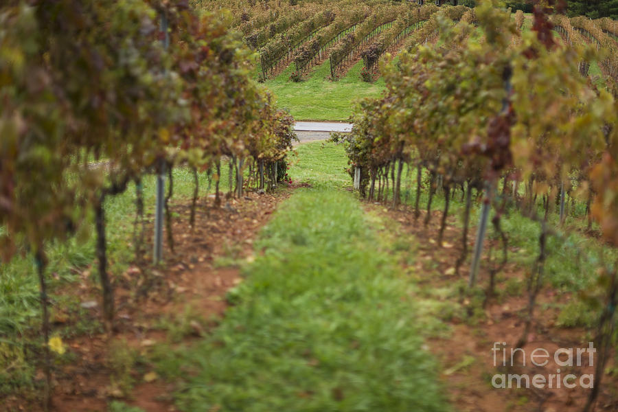 Agricultural Photograph - Rows Of Grape Vines by Roberto Westbrook