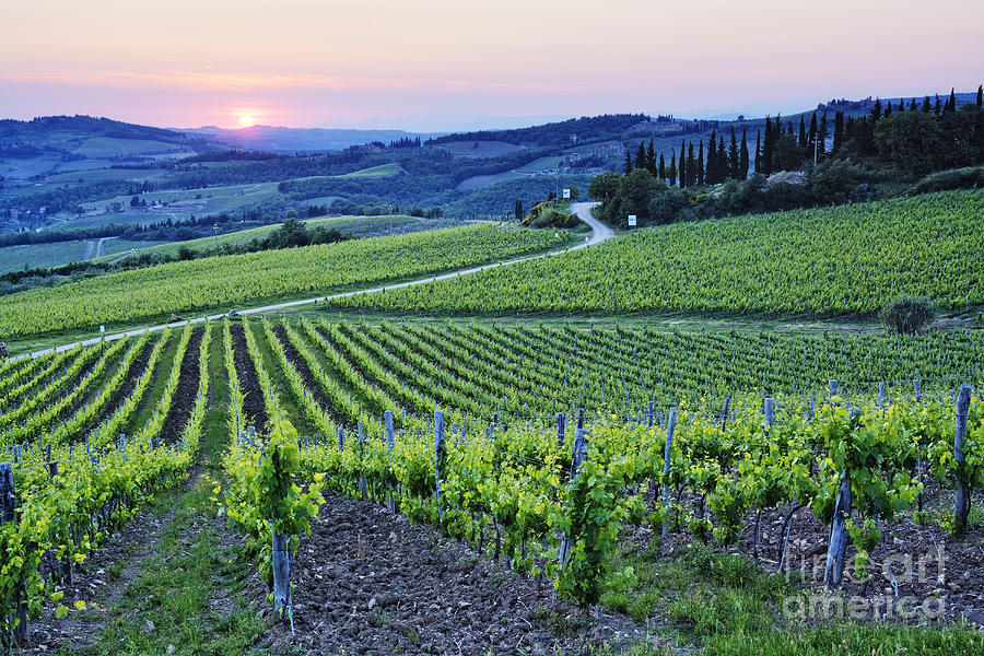 Agriculture Photograph - Rows Of Grapevines At Sunset by Jeremy Woodhouse