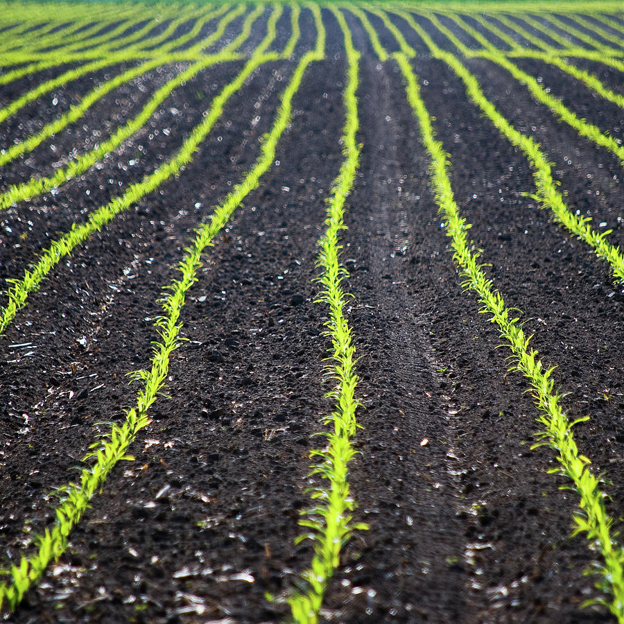 Square Photograph - Rows Of Maize Seeds by Baerbel Wilm
