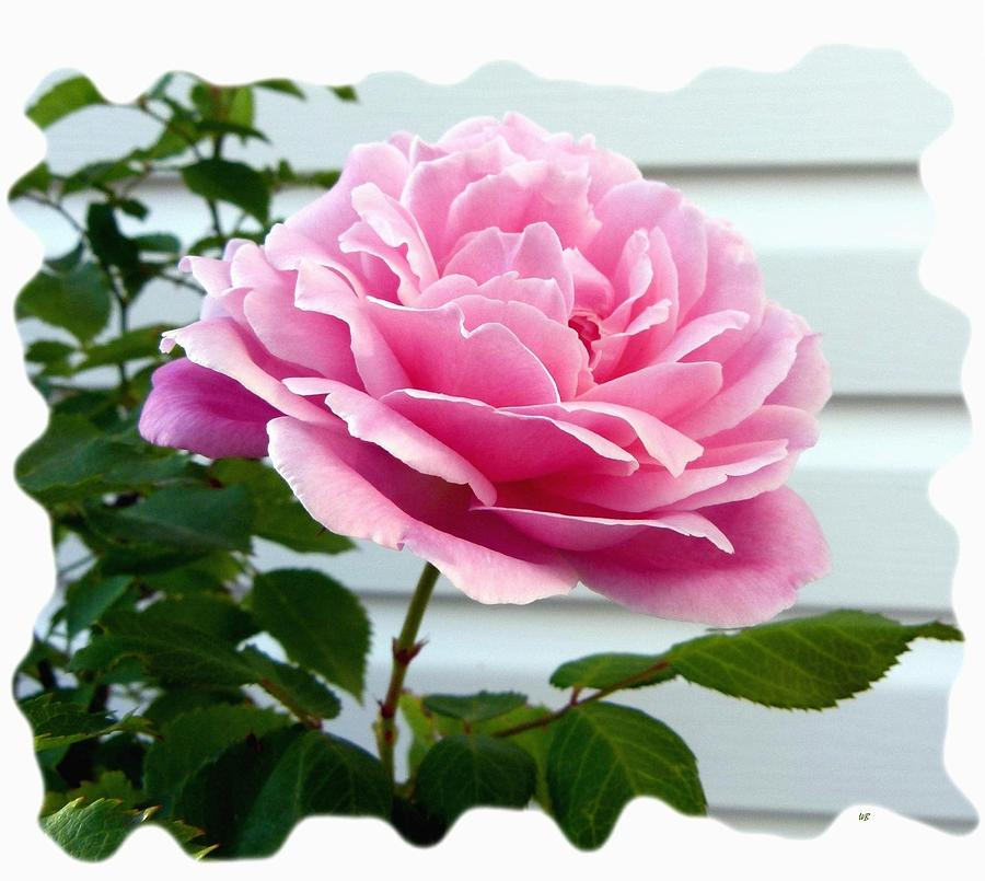 Pink Photograph - Royal Kate Rose by Will Borden