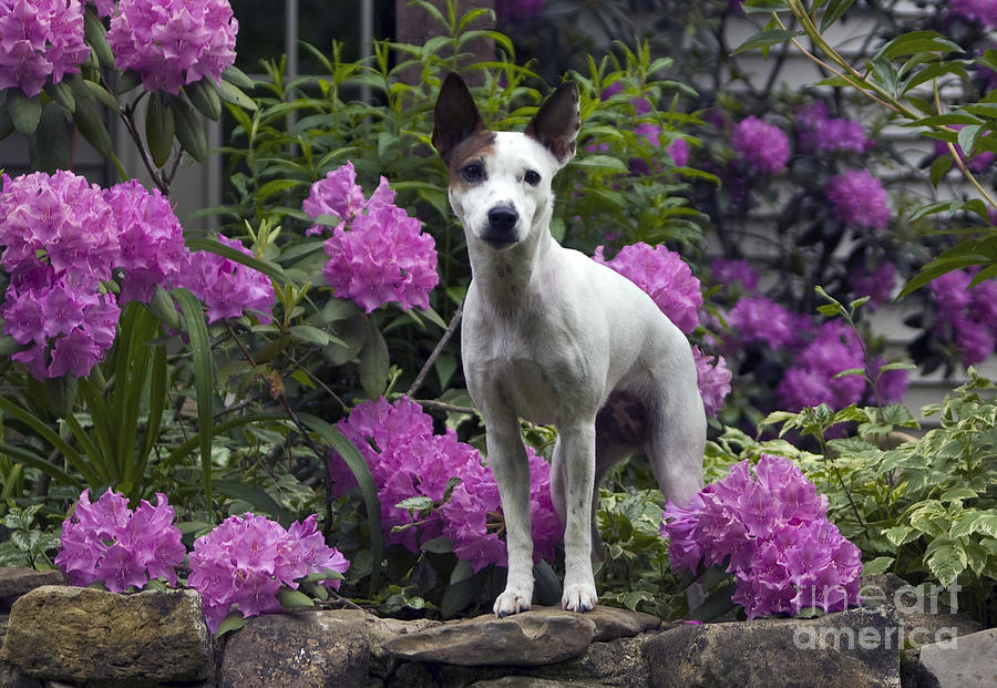 Jack Russell Photograph - Ruby In The Garden by Denise Dempster