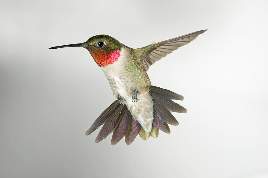 Hummingbird Photograph - Ruby Throat Hummingbird by Gregory Scott