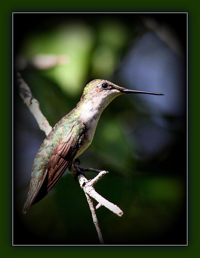 Ruby-throated Hummingbird - Just Beautiful Photograph