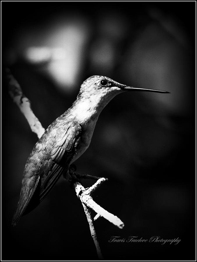 Ruby-throated Hummingbird Photograph - Ruby-throated Hummingbird - Signature by Travis Truelove