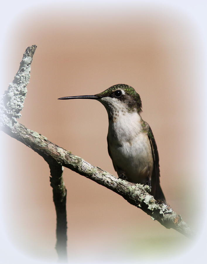 Ruby-throated Hummingbird - Totally Innocent Photograph
