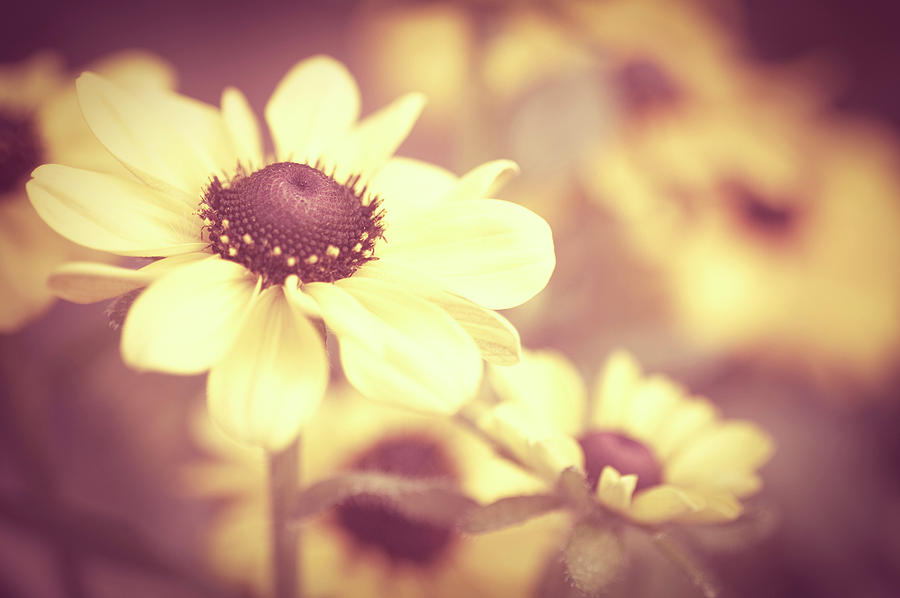 Horizontal Photograph - Rudbeckia Flowers by Dhmig Photography