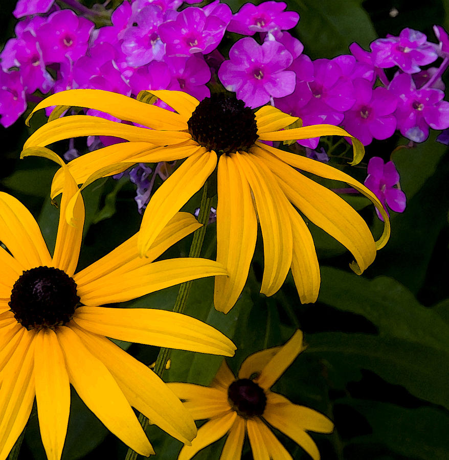 Flowers Photograph - Rudbeckia Fulgida by Michael Friedman
