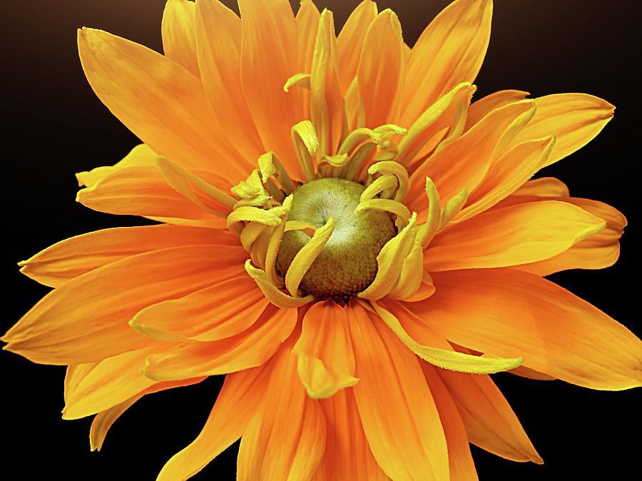 Horizontal Photograph - Rudbeckia Petals by Gitpix