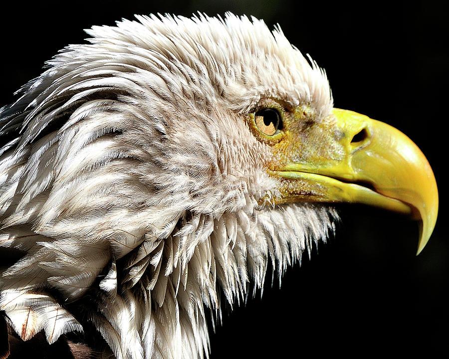 Bald Photograph - Ruffled Bald Eagle by Bill Dodsworth