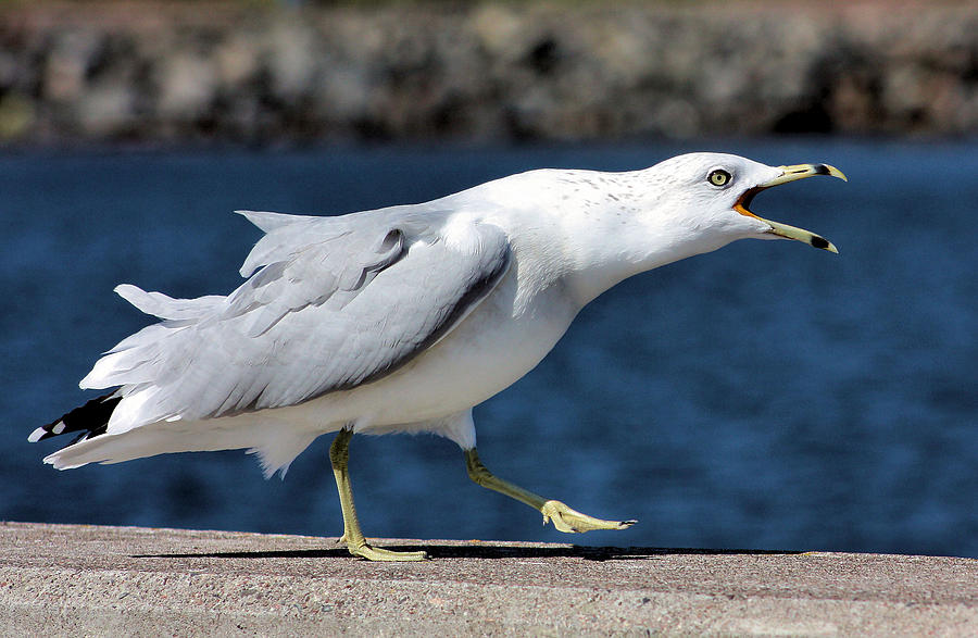 Seagull Photograph - Ruffled Feathers by Kristin Elmquist