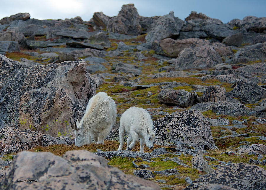 Mountain Goats Photograph - Rugged Terrain by Stephen  Johnson