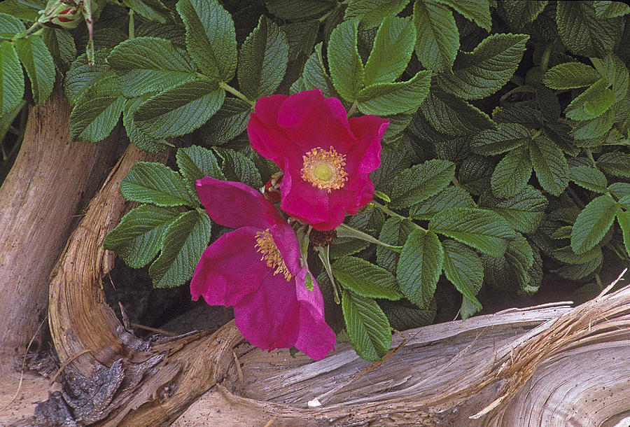 Rugosa rose and driftwood by Ralph Fahringer