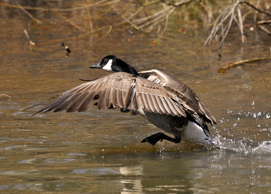 Goose Photograph - Running Atop The Water Canada Goose  - C2660a by Paul Lyndon Phillips