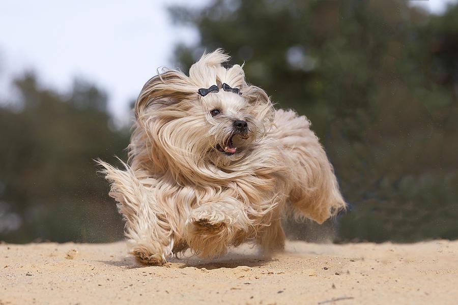 Running Havanese Dog Photograph by @Hans Surfer