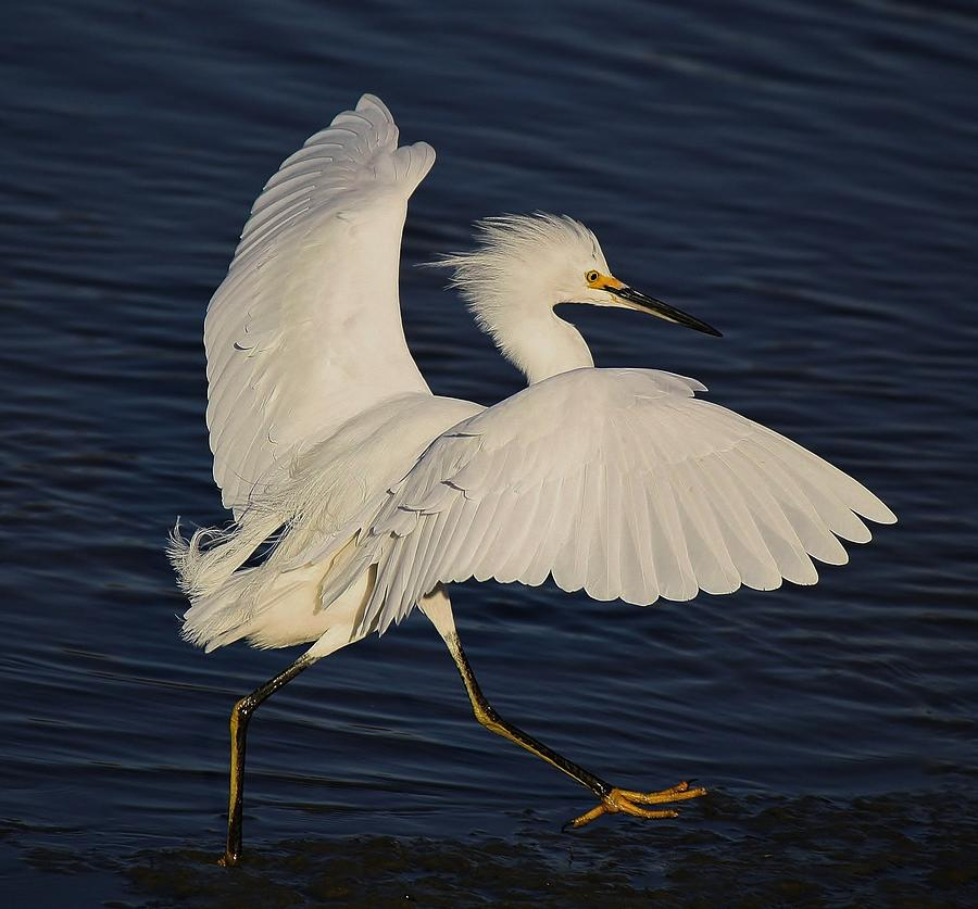 Snowy Egret Photograph - Running Late by Paulette Thomas