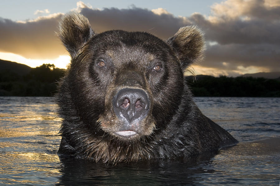 Russian Brown Bear In River Photograph by Sergey Gorshkov