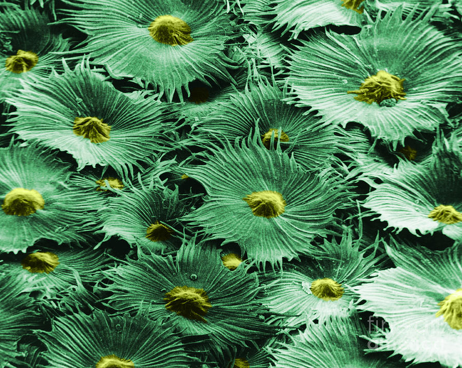 Science Photograph - Russian Silverberry Leaf  by Asa Thoresen and Photo Researchers
