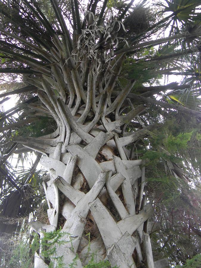 Sabal Palm Photograph - Sabal Palm by Christy Usilton