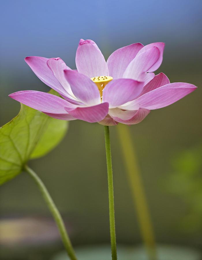 Mp Photograph   Sacred Lotus Nelumbo Nucifera Flower By Tim Fitzharris