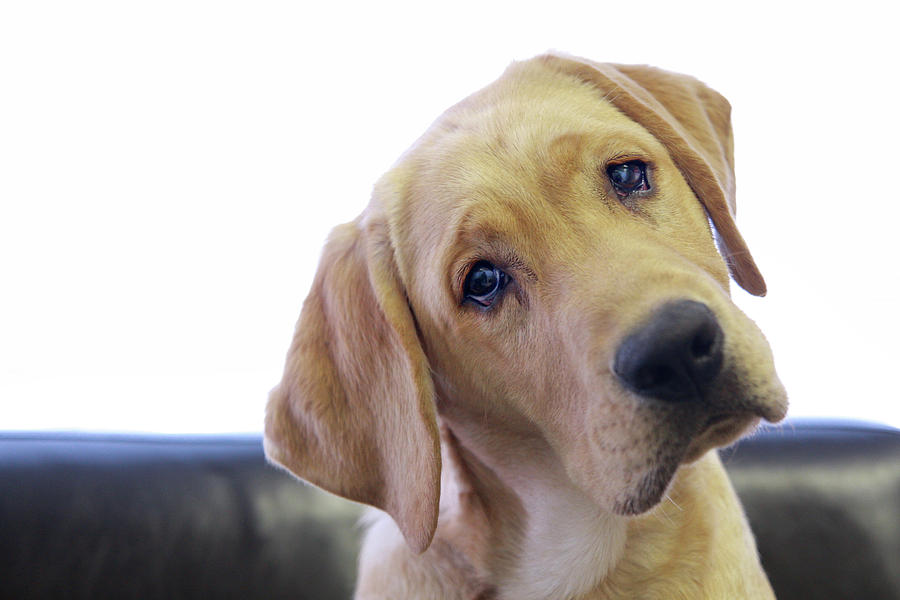 Horizontal Photograph - Sad Looking Yellow Lab With Head Tilted On Chair by Back in the Pack dog portraits