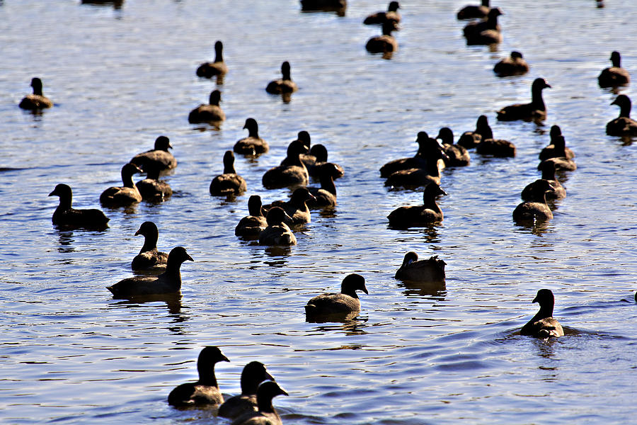 Waterfowl- Lake Wilhelmina Photograph - Safety In Numbers by Douglas Barnard