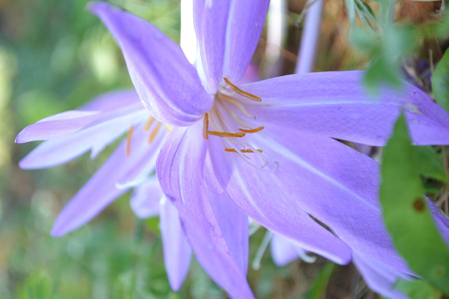 Saffron Photograph - Saffron Flower by Paula Deutz