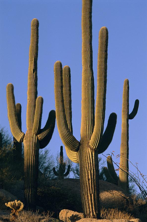 North America Photograph - Saguaro Cacti In Desert Landscape by Richard Nowitz