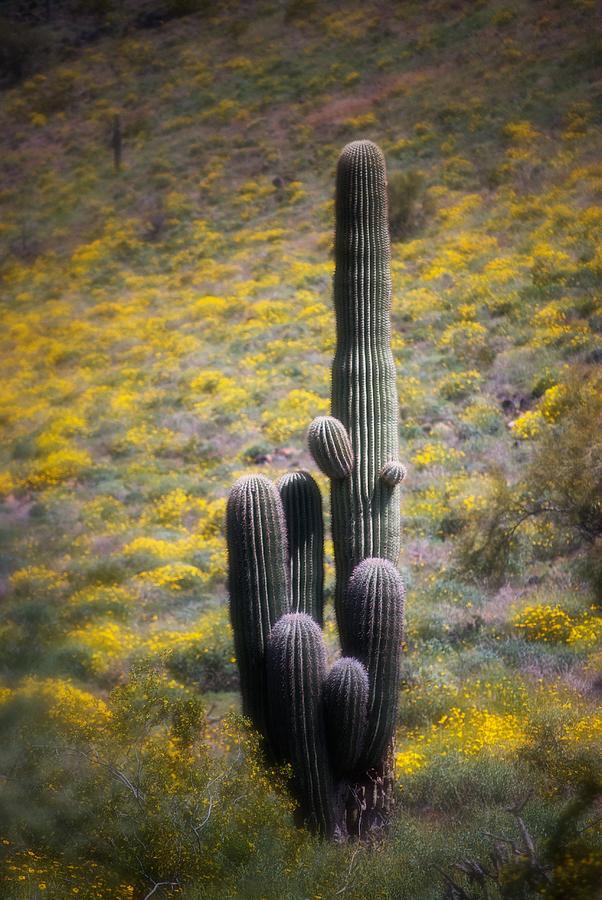 Saguaro Cactus In Springtime Wildflowers Photograph by C Thomas Willard
