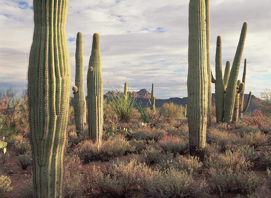 Saguaro Carnegiea Gigantea And Safford Photograph by Tim Fitzharris