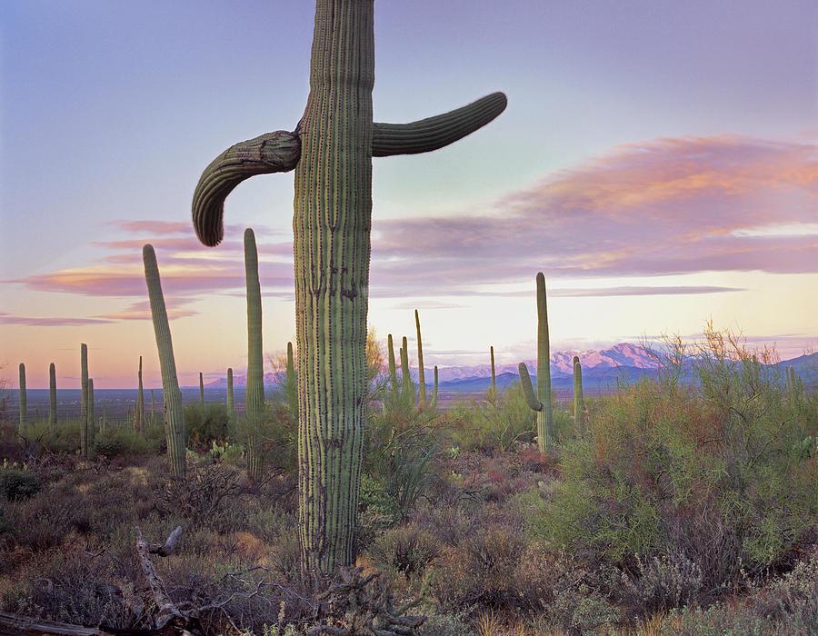 Saguaro Cacti Photograph by Tim Fitzharris