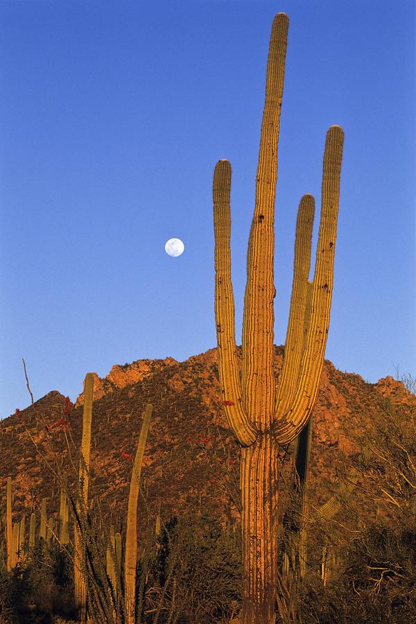 Saguaro Carnegiea Gigantea Cactus Photograph by Konrad Wothe