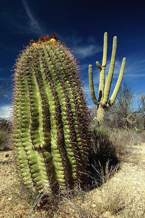 Saguaro Carnegiea Gigantea Photograph by Gerry Ellis