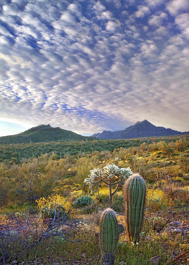Saguaro Carnegiea Gigantea Photograph by Tim Fitzharris