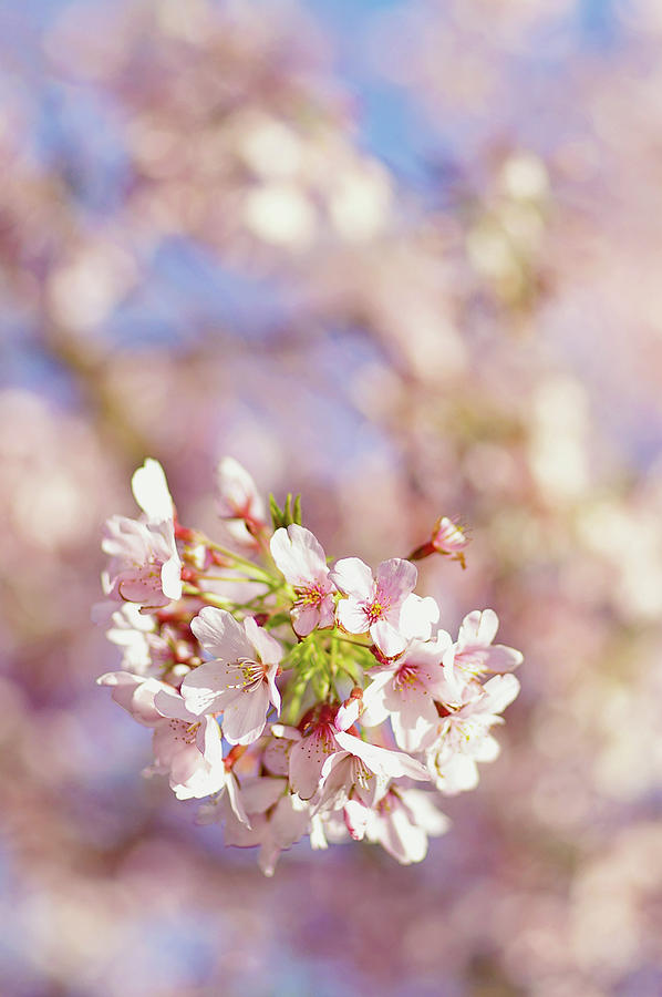 Vertical Photograph - Sakura, Pink Cherry Blossom Tree by Bonita Cooke