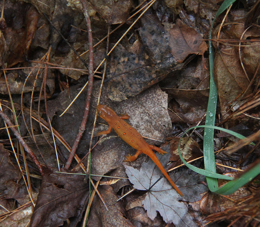 Salamander Photograph - Salamander by Lali Partsvania