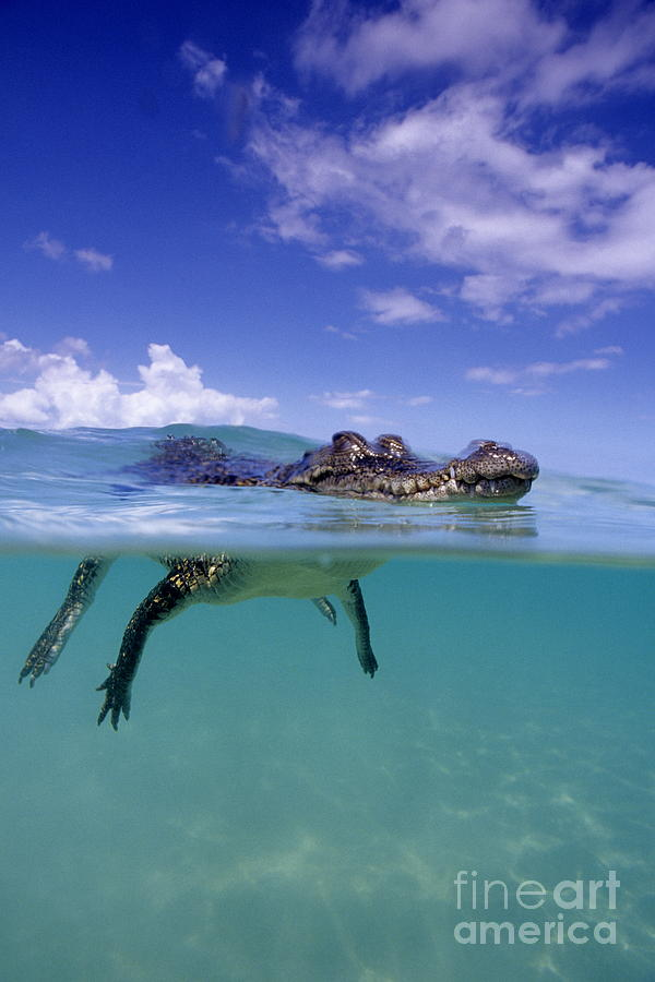 Dangerous Photograph - Salt Water Crocodile by Franco Banfi and Photo Researchers