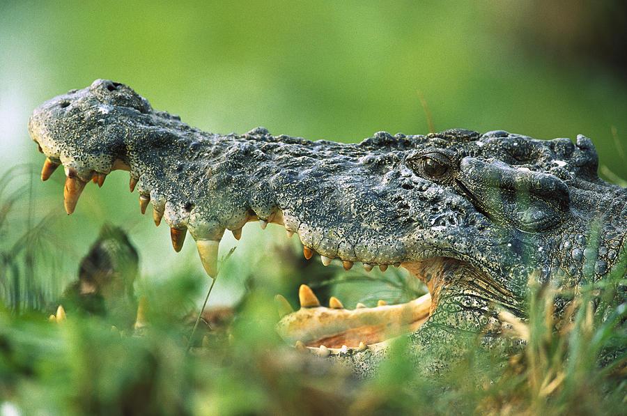 Mp Photograph - Saltwater Crocodile Crocodylus Porosus by Cyril Ruoso