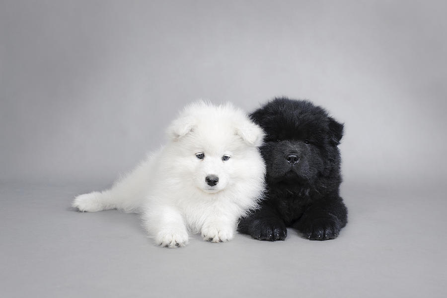 Samoyed And Chow Chow Puppies Photograph By Waldek Dabrowski