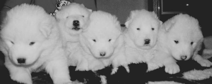 White Photograph - Samoyed Puppies by Tammy Sutherland