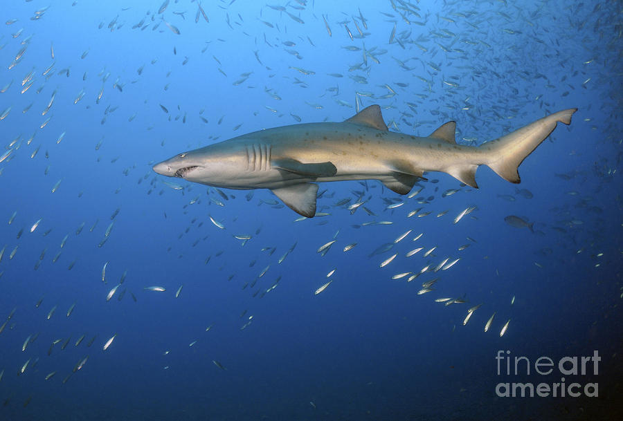 Baby Tiger Shark Images