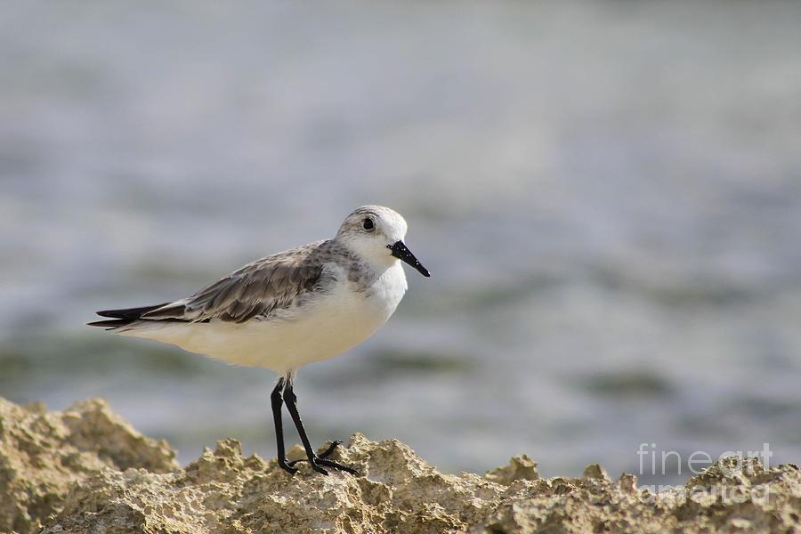 Bird Photograph - Sanderling by Teresa Zieba