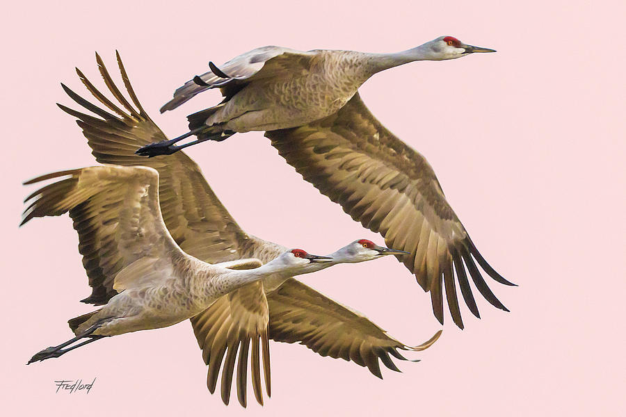 Birds Photograph - Sandhill Crane Family II by Fred J Lord