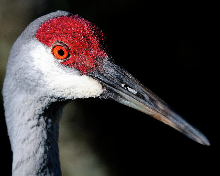 Sandhill Photograph - Sandhill Cranes Close Up by Bill Dodsworth